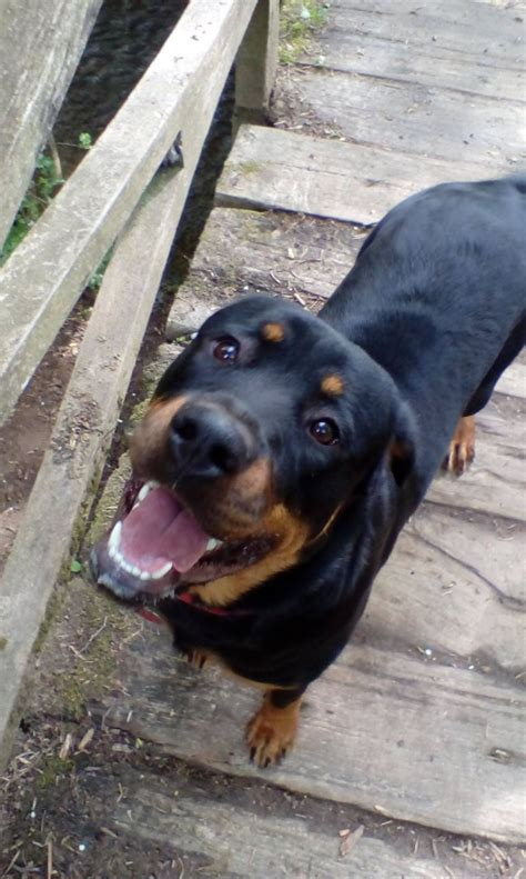 1 year rottweiler for sale rottweiler for sale crawley west sussex pets4homes
