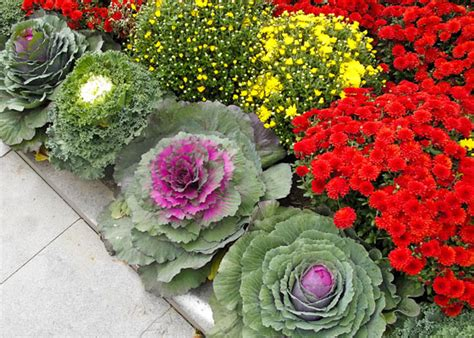 ornamental cabbage buy 5 things to know about flowering kale and cabbage garden