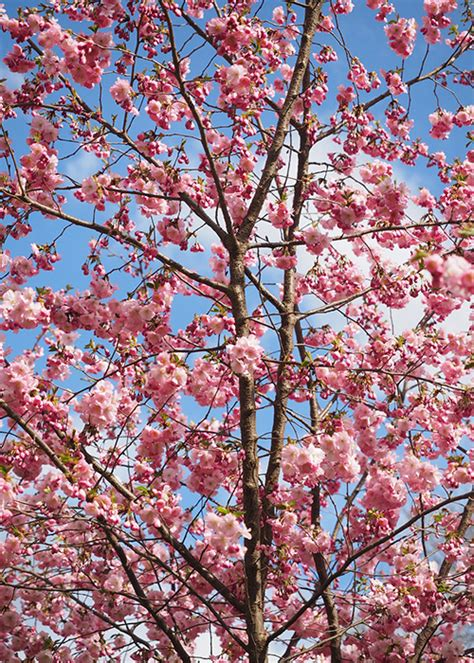 15 Best Trees For Small Gardens Beautiful Small Trees Japanese Cherry Blossom Flower