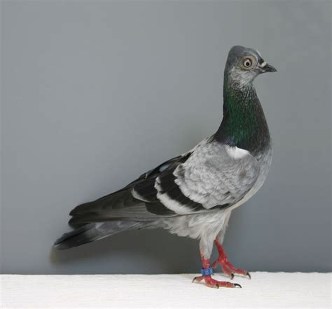 Burung Merpati Medium Artificial 17 best images about pigeon breeds on danishes pigeon pictures and