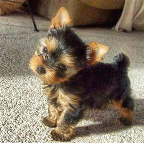 teacup yorkie grown grown yorkie search wish list for after college
