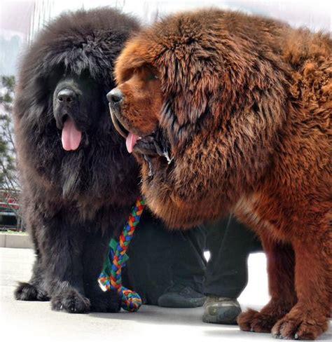 big that looks like a 25 best ideas about tibetan mastiff on tibetan mastiff tibetan