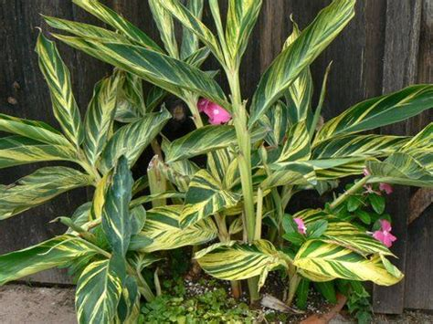 zone 8 tropical plants great tropical plant for the landscape and especially