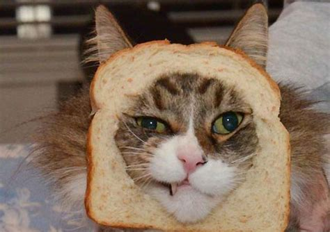 breaded cats a bizarre new internet meme