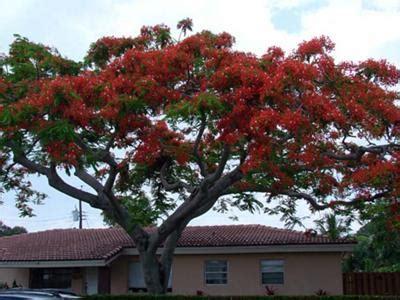 the beautiful jamaican poinciana tree