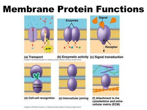 6 proteins and their functions membrane structure function ppt