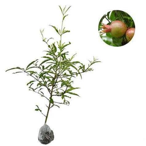 Bibit Delima 30 50 Cm jual tanaman delima putih bibit
