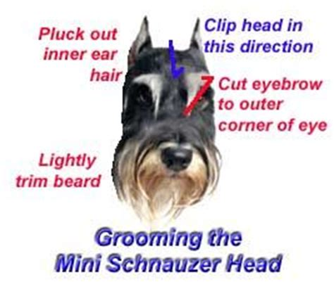 7 Tips On Grooming Your by 25 Best Ideas About Schnauzer Grooming On