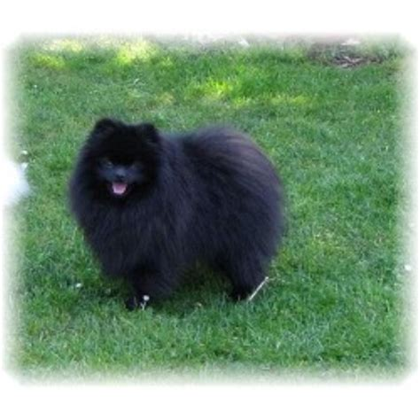 pomeranian rescue washington state pomeranian breeders in idaho freedoglistings