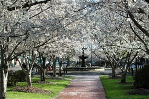 cherry blossom festival of macon