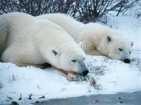 polar bears churchill tundra experience churchill manitoba canadian sky