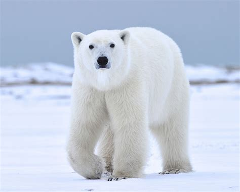 polar bear polar bear polar bear photo safari nanuk polar bear lodge churchill wild