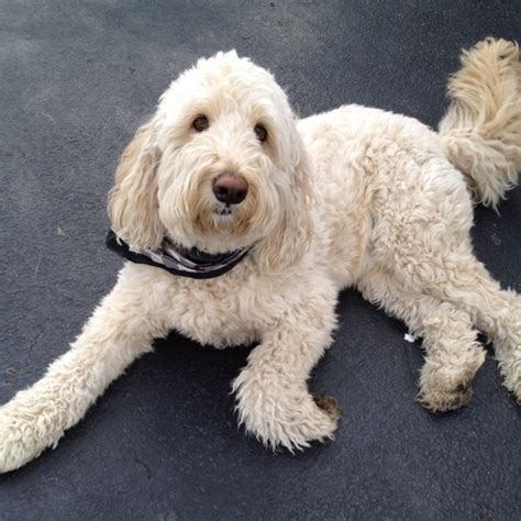 doodle hair styles goldendoodle dogs cuts