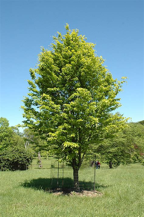Home Decorating Program by Rohan Gold Beech Fagus Sylvatica Rohan Gold In