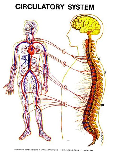 zone healing circulatory system zone