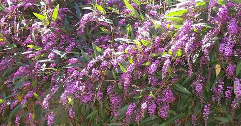 lilac climbing plant the budget gardener the happy wanderer a climbing