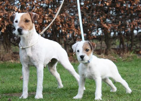 parson terrier puppies parson terrier breeders within the united states puppies siggy s paradise