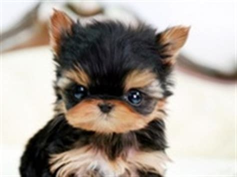 australian shepherd and yorkie mix 1000 images about stuff on australian shepherd mix teacup yorkie and