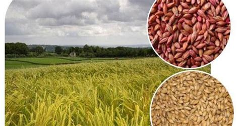 whole grains for weight loss whole grains for weight loss