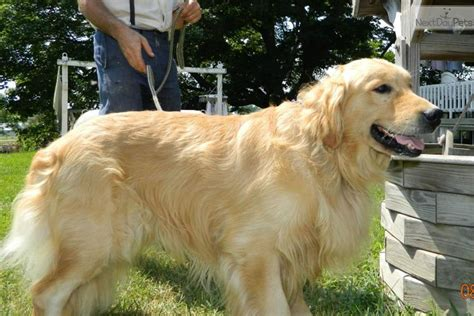 golden retriever breeder indiana golden retriever puppy for sale near south bend michiana indiana 81a2215e e661