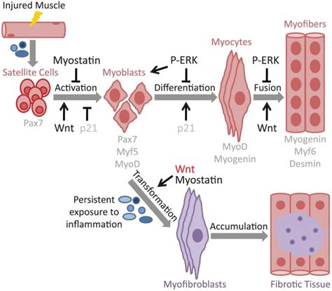 Aqua Bio Stem Cell Activator after skeletal damage occurs cytokines and growth
