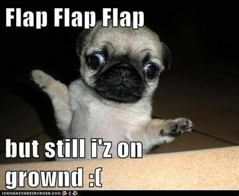 can pugs fly pugs can fly l o l