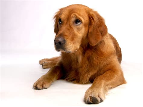 how much do golden retrievers shed golden retriever shedding how much and how to get