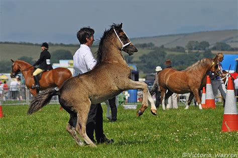 welsh section a showing welsh section d foal flickr photo sharing