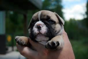 Why Do Bulldogs Shed So Much by Bulldogs Bulldogs Breeds Picture