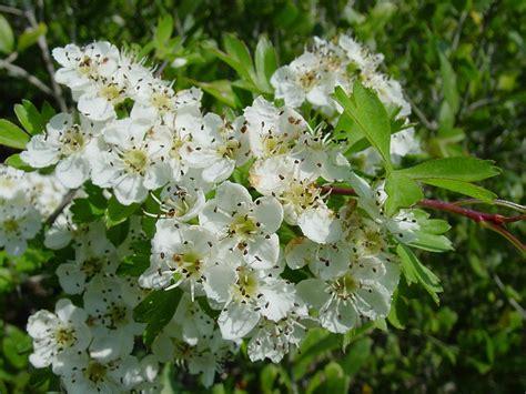 fiori della macchia mediterranea le piante aromatiche della macchia mediterranea