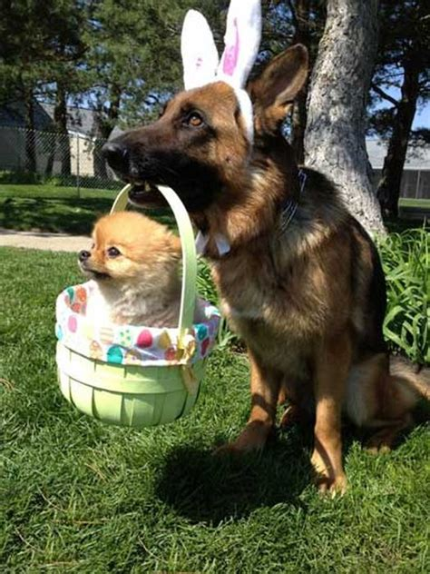 easter puppy easter dogs 1funny