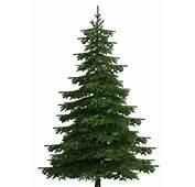 Realistic Pine Tree PNG Clip Art  Best WEB Clipart
