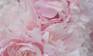 pink peonies beaufortbelle think pink thursday flowers