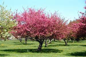 panoramio photo of crab apple tree in bloom at shelburne