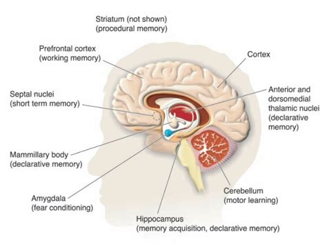 The hippocus in the limbic system kotaksurat human brain diagram limbic system image collections how ccuart Gallery