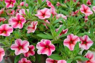 calibrachoa care how to grow and care for million bells