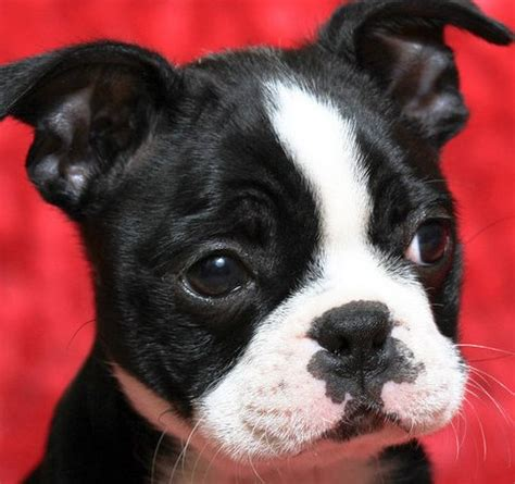 how much are boston terrier puppies boston terrier puppy boston terrier puppies picture