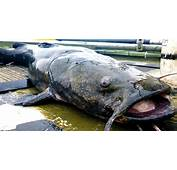 Link 36 Catfish Have 100000 Taste Buds  Fun Facts You