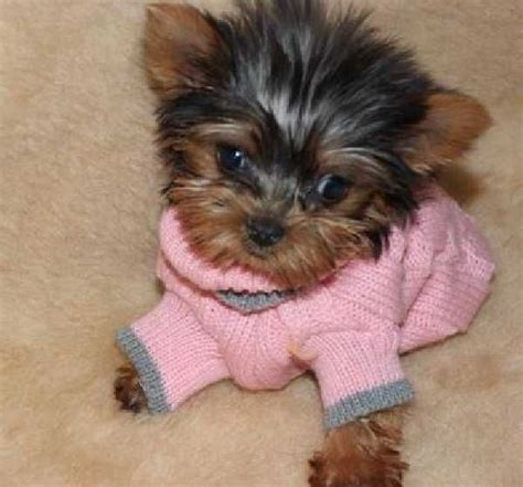 yorkie lifespan teacup yorkie 39 best images about yorkies on i want yorkie and