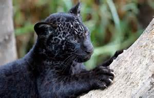 Jaguar Melanism Shadow Cats International Society For Endangered Cats