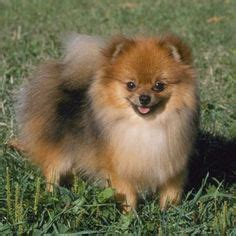 pomeranian ears 25 best ideas about smallest breeds on smallest puppies and