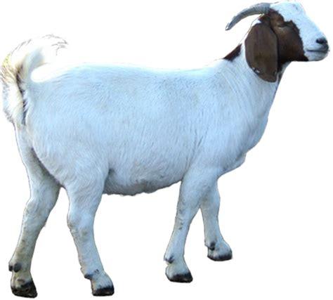 Bibit Kambing Boer himpunan peternak kambing boer indonesia cabang jawa timur