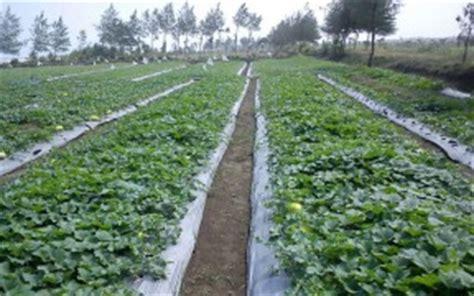 Pupuk Kalsium Untuk Semangka cara budidaya timun suri organik alamtani