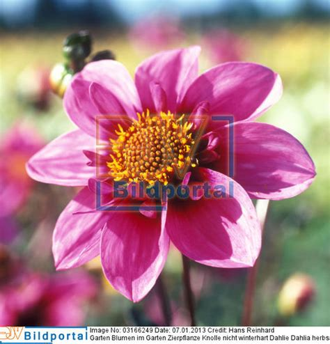 garten zierpflanze details zu 0003166249 garten blumen im garten