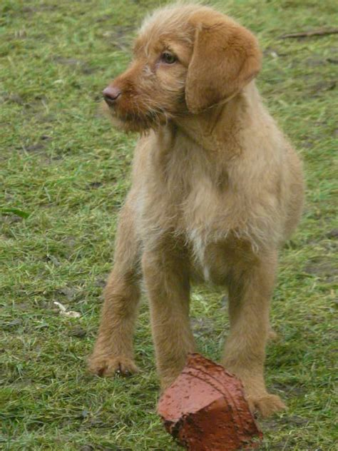 labradoodle puppies wisconsin puppies for sale breeder uk chocolate and our labradoodle