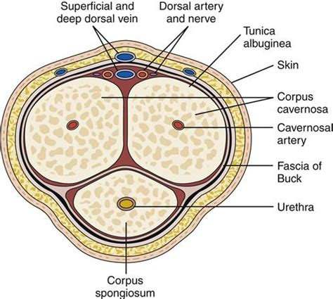 cross section of the penis male genital and reproductive function basicmedical key