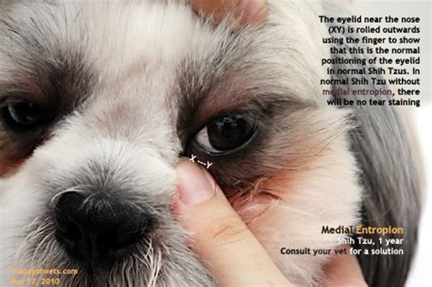 shih tzu tear stains veterinary medicine surgery singapore toa payoh vets dogs cats rabbits guinea