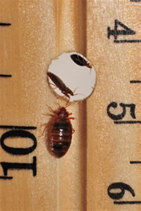 can bed bugs jump from person to person can bed bugs jump from person to person 28 images do