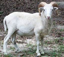 Types Of Hair Sheep by Dall Hair Sheep Breed Provident Planning