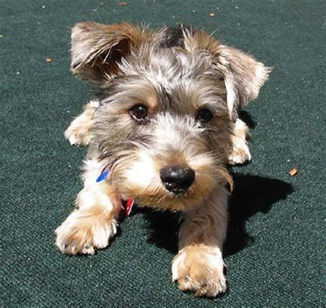 schnauzer yorkie mix chester the yorkie schnauzer mix puppies daily puppy
